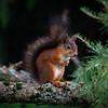 Ekorn / Red Squirrel<br /> Jensvoll, Lier 12.9.2020<br /> Canon 5D Mark IV + EF 500mm f/4L IS II USM +1.4 x Ext