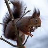 Ekorn / Red Squirrel<br /> Berger, Drammen 8.4.2020<br /> Canon 5D Mark IV + EF 500mm f/4L IS II USM +1.4 x Ext
