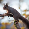 Ekorn / Red Squirrel<br /> Linneslia, Lier 25.10.2020<br /> Canon 5D Mark IV + EF 500mm f/4L IS II USM