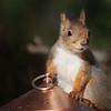 Ekorn / Red Squirrel<br /> Linneslia, Lier 26.10.2013<br /> Canon EOS 5D Mark II + EF 100-400 mm 4,5-5,6 L