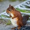 Ekorn / Red Squirrel<br /> Hol, Hallingdal 22.7.2020<br /> Canon 5D Mark IV + EF 500mm f/4L IS II USM +1.4 x Ext