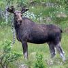 Elg / Moose<br /> Vesterålen, Nordland 14.7.2019<br /> Canon 5D Mark IV + EF 500mm f/4L IS II USM + 1.4 Extender