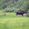 Elg / Moose<br /> Skrøytnes, Pasvik 6.7.2013<br /> Canon EOS 5D Mark II + EF 100-400 mm 4,5-5,6 L