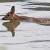Rådyr / Roe Deer<br /> Linnesstranda, Lier 25.5.2013<br /> Canon EOS 7D + EF 100-400 mm 4,5-5,6 L
