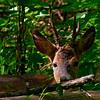 Rådyr / Roe Deer <br /> Linnesstranda, Lier 5.6.2006<br /> Canon EOS 20D + EF 400 mm 5,6 L