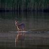 Rådyr / Roe Deer<br /> Linnesstranda, Lier 1.6.2014<br /> Canon EOS 7D + EF 100-400 mm 4,5-5,6 L