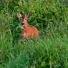 Rådyr / Roe Deer<br /> Linnesstranda, Lier 18.6.2005<br /> Canon EOS 20D + EF 200 mm 2.8 + Extender 1.4