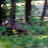 Rådyr / Roe Deer <br /> Linnesstranda, Lier 15.5.2006<br /> Canon EOS 50D + EF 400 mm 5,6 L