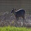 Rådyr / Roe Deer<br /> Linnesstranda, Lier  4.5.2014<br /> Canon EOS 7D + EF 100-400 mm 4,5-5,6 L