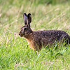 Sørhare / Brown Hare<br /> Hou, Danmark 11.7.2014<br /> Canon EOS 7D + Tamron 150-600 mm 5,0 - 6,3 mm