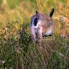 Sørhare / Brown Hare<br /> Øland, Sverige 24.7.2013<br /> Canon EOS 7D + EF 100-400 mm 5,6 L