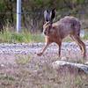 Sørhare / Brown Hare<br /> Byrums Raukar, Øland, Sverige 23.5.2009<br /> Canon EOS 50D + EF 400 mm 5,6 L