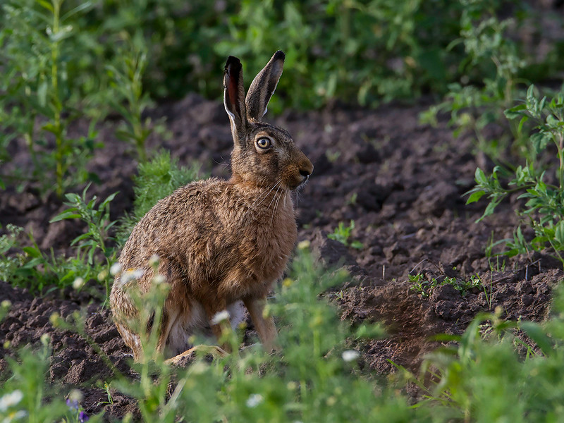 Sørhare / Brown Hare<br /> Bolle Enge,  Danmark 13.7.2014<br /> Canon EOS 7D + Tamron 150-600 mm 5,0 - 6,3 mm @ 450 mm