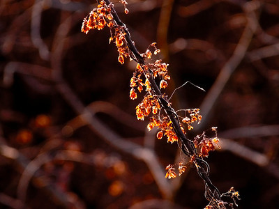 Humle Linnesstranda, Lier 25.12.2008 Canon EOS 50D + EF 400 mm 5,6 L