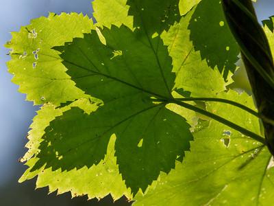 Humle Linnesstranda, Lier 26.7.2012 Canon EOS 50D + EF 100-400 mm 4,5-5,6 L