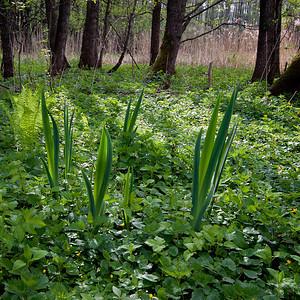 Sverdlilje Linnesstranda, Lier 8.5.2011 Canon EOS 50D + Sigma 10-20 mm