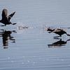 Sothøne / Eurasian Coot<br /> Hornborgasjön, Sverige 4.4.2012<br /> Canon EOS 7D + EF 400 mm 5,6 L