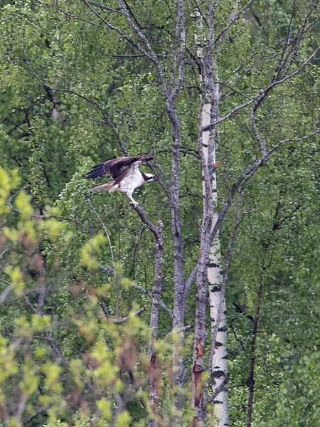 Fiskeørn / Osprey <br /> Linnesstranda, Lier 16.5.2015<br /> Canon 7D Mark II + Tamron 150 - 600 mm 5,0 - 6,3