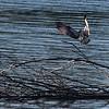 Fiskeørn / Osprey<br /> Linnesstranda, Lier 1.8.2013<br /> Canon EOS 7D + EF 100-400 mm 4,5 - 5,6 L