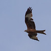 Glente / Red Kite <br /> Halland, Sverige 24.5.2009<br /> Canon EOS 50D + EF 400 mm 5.6 L