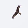 Glente / Red Kite <br /> Halland, Sverige 24.5.2009<br /> Canon EOS 50D + EF 400 mm 5.6 L