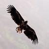 Havørn / White-tailed Eagle <br /> Runde, Møre og Romsdal 11.7.2009<br /> Canon EOS 50D + EF 400 mm 5.6 L