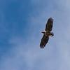 Havørn / White-tailed Eagle <br /> Runde, Møre og Romsdal 6.5.2005<br /> Canon EOS 20D + EF200 mm 2,8 L + Extender 1,4 x