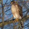Spurvehauk / Eurasian Sparrowhawk <br /> Linnesstranda, Lier 24.1.2015<br /> Canon 7D Mark II + Tamron 150 - 600 mm 5,0 - 6,3 @ 500 mm