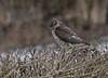 Spurvehauk / Sparrow Hawk<br /> Linnesstranda, Lier 15.2.015<br /> Canon 7D Mark II + Tamron 150 - 600 mm 5,0 - 6,3  @ 200 mm