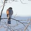 Spurvehauk / Eurasian Sparrowhawk<br /> Linneslia, Lier 13.1.2013<br /> Canon EOS 7D + EF 100-400 mm 4,5-5,6 L