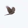 Spurvehauk / Eurasian Sparrowhawk <br /> Linnesstranda, Lier 23.10.2011<br /> Canon EOS 7D + EF 400 mm 5.6 L