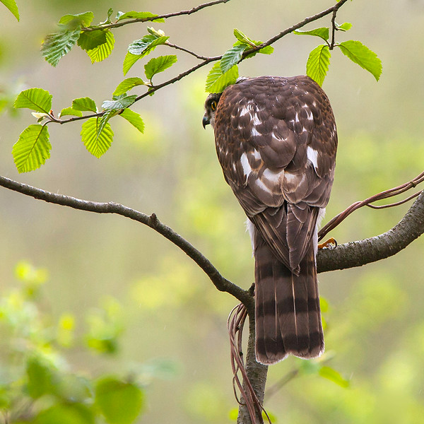 Spurvehauk / Eurasian Sparrowhawk <br /> Linnesstranda, Lier 16.5.2005<br /> Canon EOS 20D + EF200 mm 2,8 L + Extender 1,4 x