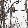 Spurvehauk / Sparrow Hawk<br /> Linnesstranda, Lier 19.10.2014<br /> Canon EOS 7D + Tamron 150 - 600 mm 5,0 - 6,3