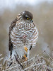 Spurvehauk / Sparrow Hawk<br /> Linnesstranda, Lier 15.2.015<br /> Canon 7D Mark II + Tamron 150 - 600 mm 5,0 - 6,3  @ 350 mm