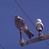 Tårnfalk / Eurasian Kestrel <br /> Lanzarote, Spain feb. 1996<br /> Nikon Nikkormat FTn + Vivitar 400 mm 5,6