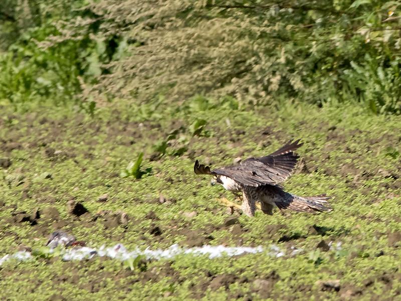 Vandrefalk / Peregrine Falcon <br /> Linnesstranda, Lier 8.8.2015<br /> Canon 7D Mark II + Tamron 150 - 600 mm 5,0 - 6,3  @ 350 mm