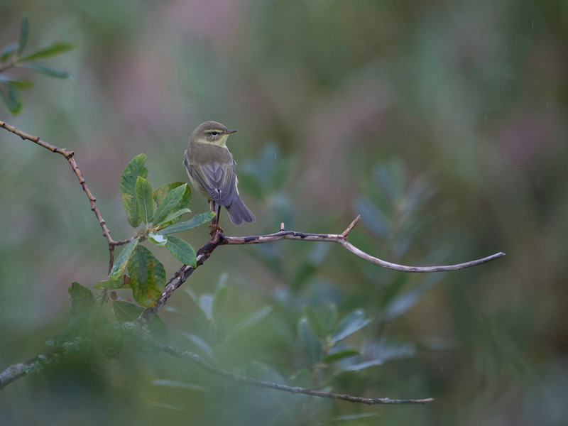 Løvsanger/ Willow warbler<br /> Linnesstranda, Lier 31.8.2013<br /> Canon 5D Mark II + 100- 400 mm 4,5 - 5,6 L