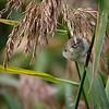 Løvsanger / Willow Warbler <br /> Linnesstranda, Lier 16.8.2014<br /> Canon EOS 7D + Tamron 150 - 600 mm 5,0 - 6,3