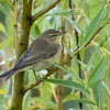 Løvsanger / Willow Warbler <br /> Linnesstranda, Lier 5.9.2015<br /> Canon 7D Mark II + Tamron 150 - 600 mm 5,0 - 6,3