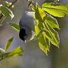 Munk / Blackcap <br /> Linnesstranda, Lier 30.4.2007<br /> Canon EOS 20D + EF 400 mm 5,6 L