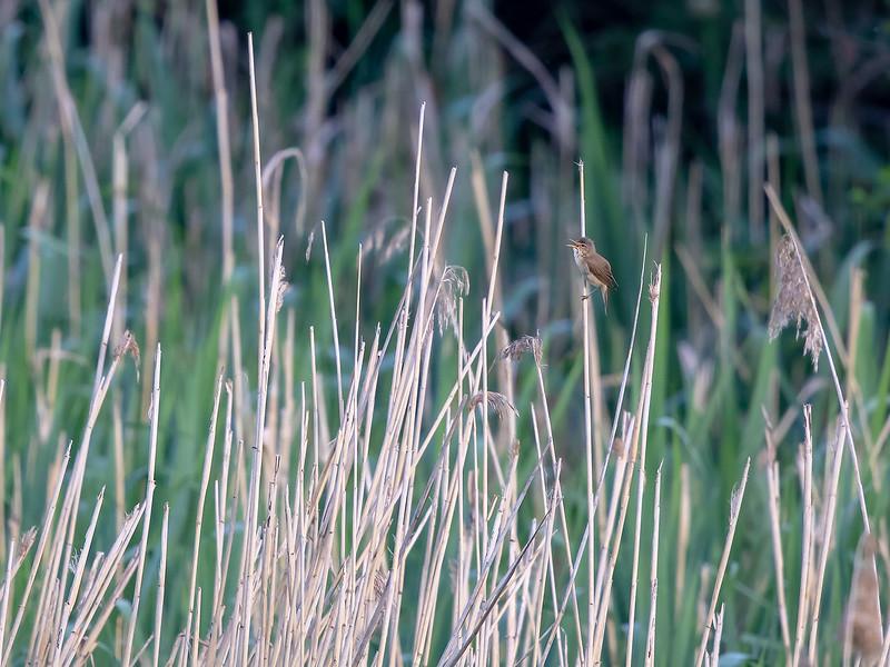 Myrsanger / Marsh Warbler<br /> Linnesstranda, Lier 2.6.2018<br /> Canon 5D Mark IV +  EF 500mm f/4L IS II USM + 2x Ext