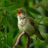 Myrsanger / Marsh Warbler<br /> Linnesstranda, Lier 8.6.2003<br /> Nikon Coolpix 4500 + Swarovski ST80HD