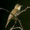Myrsanger / Marsh Warbler<br /> Linnesstranda, Lier 12.6.2004<br /> Nikon Coolpix 4500 + Swarovski ST80HD