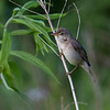 Myrsanger / Marsh Warbler<br /> Linnesstranda, Lier 28.6.2012<br /> Canon EOS 7D + EF 100-400 mm 4,5-5,6 L