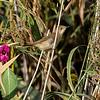 Rørsanger / Eurasian Reed-Warbler <br /> Linnesstranda, Lier 23.8.2014<br /> Canon EOS 7D + Tamron 150-600 mm 5,0 - 6,3 @ 450 mm
