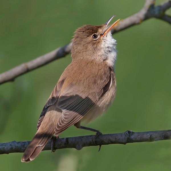 Rørsanger / Eurasian Reed-Warbler <br /> Linnesstranda, Lier 10.6.2006<br /> Canon EOS 20D + EF 400 mm 5,6