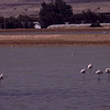 Flamingo / Greater Flamingo <br /> Eilat, Israel 1.3.2000<br /> Nikon Nikkormat FTn + Vivitar 400 mm