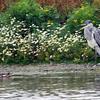 Gråhegre / Grey Heron –<br /> Getterön, Sverige 21.7.2013<br /> Canon EOS 7D + EF 100-400 mm 4,5-5,6 L