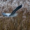 Gråhegre / Grey Heron<br /> Linnesstranda, Lier 21.11.2015<br /> Canon 7D Mark II + Tamron 150 - 600 mm 5,0 - 6,3