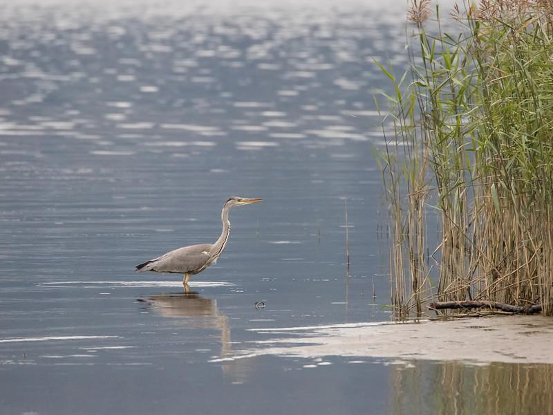Gråhegre / Grey Heron<br /> Linnesstranda, Lier 12.9.2015<br /> Canon 7D Mark II + Tamron 150 - 600 mm 5,0 - 6,3